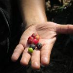 Café: fruto de la tierra